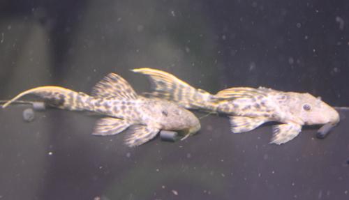 タイタニックトリム 東海 岐阜 熱帯魚 水草 観葉植物販売 Grow aquarium