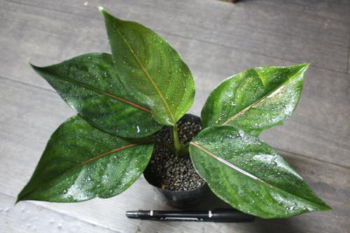Aglaonema rotundum×simplex 東海 岐阜 熱帯魚 水草 観葉植物販売 Grow aquarium