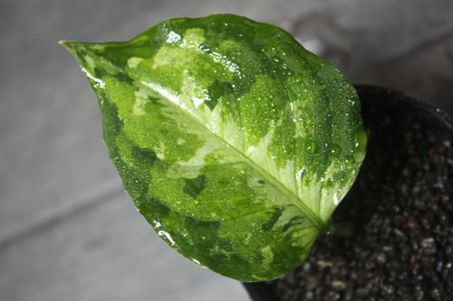 エキノドルスsp.サターン2000 東海 岐阜 熱帯魚 水草 観葉植物販売 Grow aquarium
