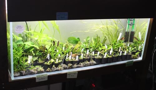 深緑系エキノ中心水草販売水槽 東海 岐阜 熱帯魚 水草 観葉植物販売 Grow aquarium
