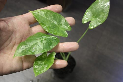 アロカシア オドラ バリエガータ 東海 岐阜 熱帯魚 水草 観葉植物販売 Grow aquarium