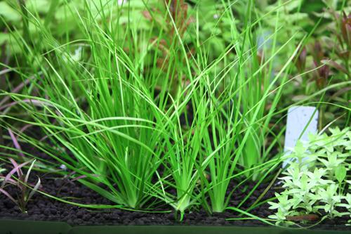 ホシクサsp.ウォータリーアイズ 東海 岐阜 熱帯魚 水草 観葉植物販売 Grow aquarium