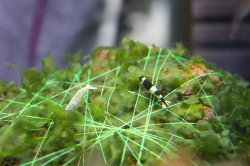 ブラックシャドー入荷 東海 岐阜 熱帯魚 水草 観葉植物販売 Grow aquarium