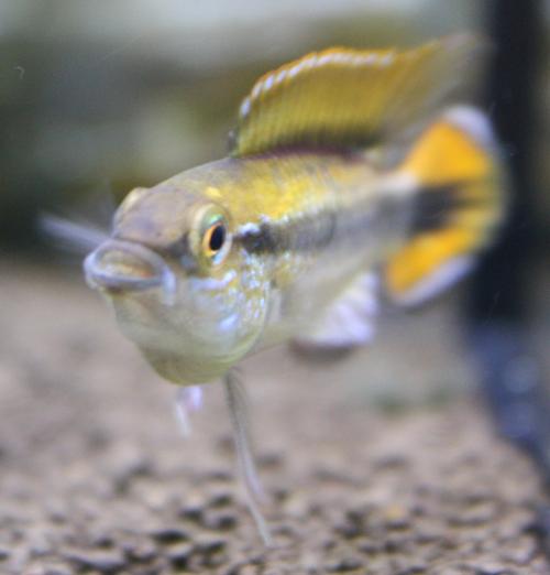 アピストグラマ アガシジーレッド 東海 岐阜 熱帯魚 水草 観葉植物販売 Grow aquarium