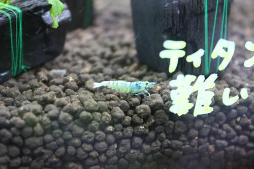 ブラッシャドー、ターコイズ 東海 岐阜 熱帯魚 水草 観葉植物販売 Grow aquarium