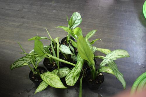 アグラオネマ シルバークイーン 東海 岐阜 熱帯魚 水草 観葉植物販売 Grow aquarium