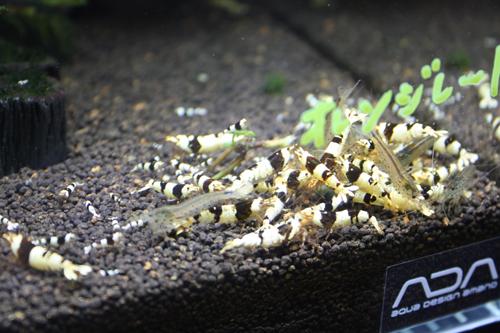 黒ビーシュリン 東海 岐阜 熱帯魚 水草 観葉植物販売 Grow aquarium