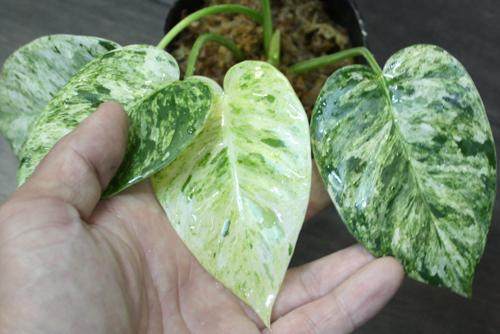 フィロデンドロン ギガンティウム バリエガータ 東海 岐阜 熱帯魚 水草 観葉植物販売 Grow aquarium