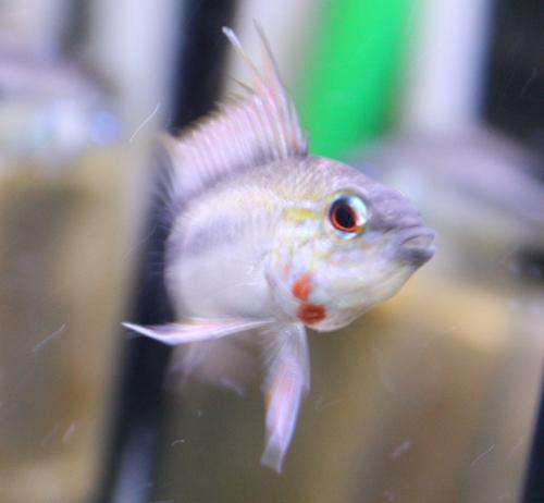 アピストグラマ エリスルラ レッドネックタイプ 東海 岐阜 熱帯魚 水草 観葉植物販売 Grow aquarium