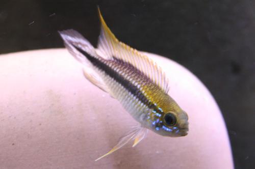 アピストグラマ アガシジー サンタレン ジュア 東海 岐阜 熱帯魚 水草 観葉植物販売 Grow aquarium