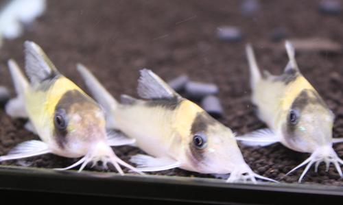 コリドラス イミテーター アルトミウア 東海 岐阜 熱帯魚 水草 観葉植物販売 Grow aquarium