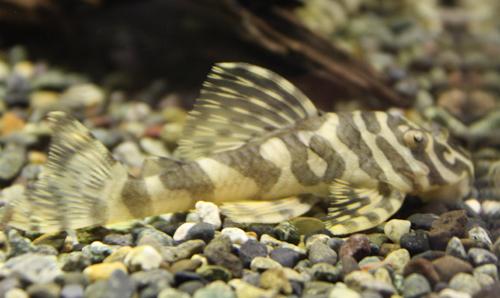 クイーンインペリアルタイガー ピメンタル 東海 岐阜 熱帯魚 水草 観葉植物販売 Grow aquarium