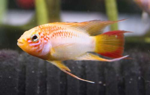 アピストグラマ ヴィエジタゴールド スーパーレッド 東海 岐阜 熱帯魚 水草 観葉植物販売 Grow aquarium