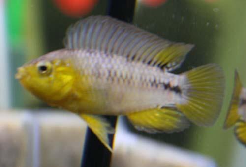アピストグラマ ボレリー 東海 岐阜 熱帯魚 水草 観葉植物販売 Grow aquarium