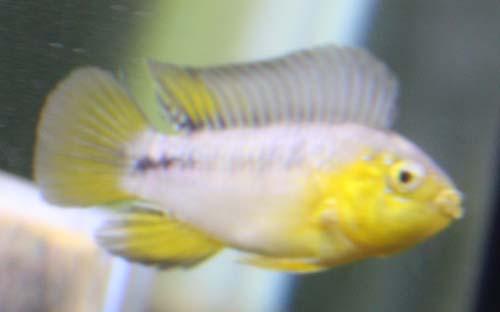 アピストグラマ ボレリーイエローヘッド ペア 東海 岐阜 熱帯魚 水草 観葉植物販売 Grow aquarium