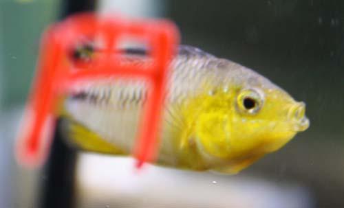 アピストグラマ ボレリー イエローヘッド 東海 岐阜 熱帯魚 水草 観葉植物販売 Grow aquarium