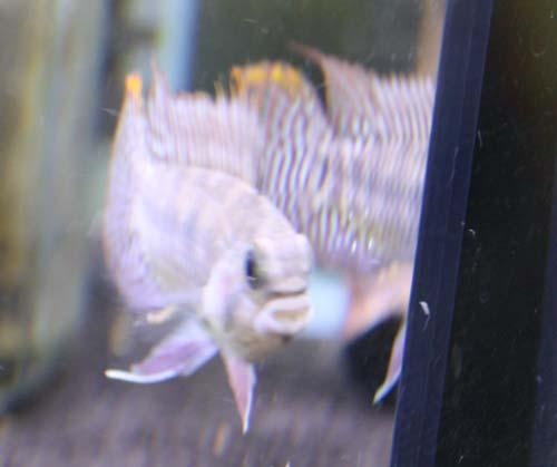 アピストグラマsp.シャリー リオヤスニ 東海 岐阜 熱帯魚 水草 観葉植物販売 Grow aquarium