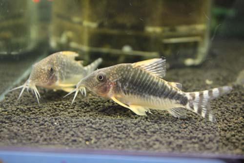 コリドラス ロングノーズゴッセイ WILD 東海 岐阜 熱帯魚 水草 観葉植物販売 Grow aquarium