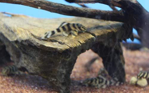 サンダーペコルティア 東海 岐阜 熱帯魚 水草 観葉植物販売 Grow aquarium