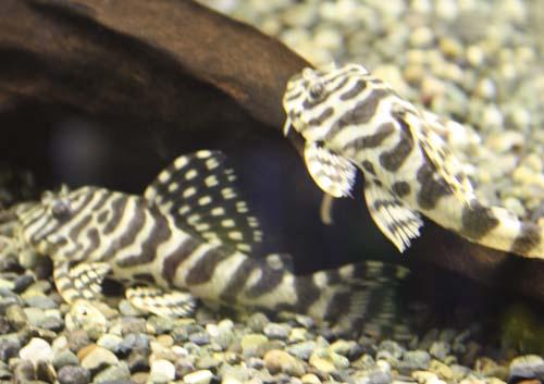 クイーンインペリアルタイガープレコ WILD 東海 岐阜 熱帯魚 水草 観葉植物販売 Grow aquarium