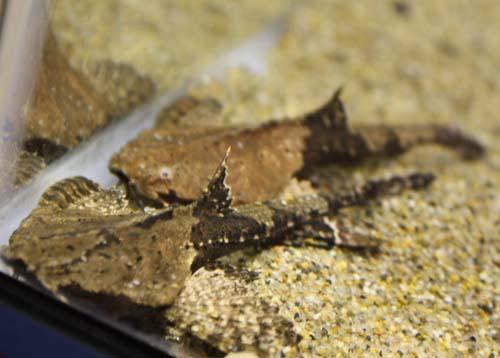 バンジョーキャット 東海 岐阜 熱帯魚 水草 観葉植物販売 Grow aquarium
