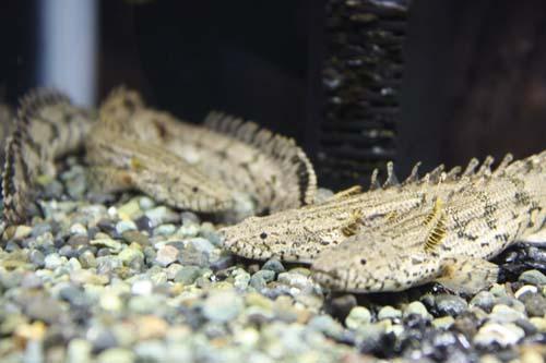 ポリプテルス エンドリケリー 東海 岐阜 熱帯魚 水草 観葉植物販売 Grow aquarium