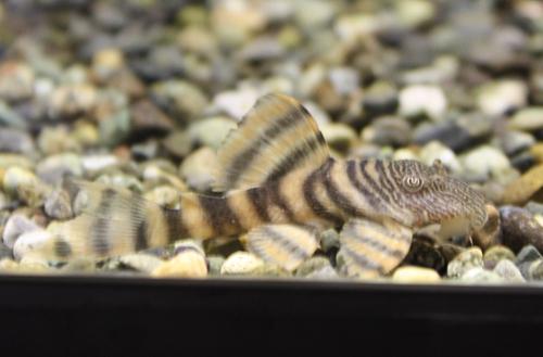 ホワイトタイガープレコ 東海 岐阜 熱帯魚 水草 観葉植物販売 Grow aquarium