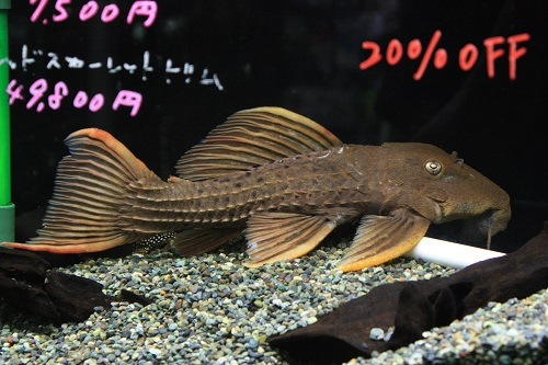 スーパーレッドスカーレットトリム 東海 岐阜 熱帯魚 水草 観葉植物販売 Grow aquarium