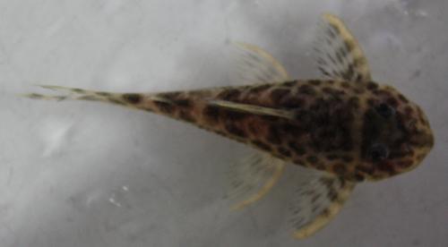 ニューインペリアルダップルドプレコ 東海 岐阜 熱帯魚 水草 観葉植物販売 Grow aquarium