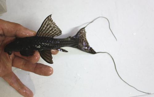 ドラゴンアカリエスピーニョsp. 東海 岐阜 熱帯魚 水草 観葉植物販売 Grow aquarium