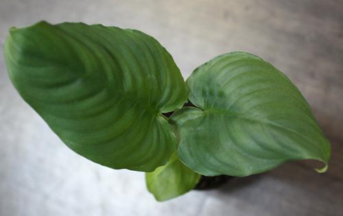 スキスマトグロッティスsp. サンガウ 東海 岐阜 熱帯魚 水草 観葉植物販売 Grow aquarium