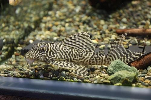 ニューキングロイヤルペコルティア ベロモンテ 東海 岐阜 熱帯魚 水草 観葉植物販売 Grow aquarium