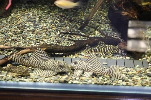 ニューキングロイヤル 東海 岐阜 熱帯魚 水草 観葉植物販売 Grow aquarium