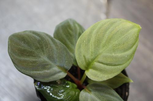 ホマロメナsp.マウントベサール 東海 岐阜 熱帯魚 水草 観葉植物販売 Grow aquarium