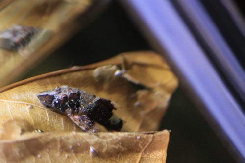 タイガーオトシン リオナナイ 東海 岐阜 熱帯魚 水草 観葉植物販売 Grow aquarium