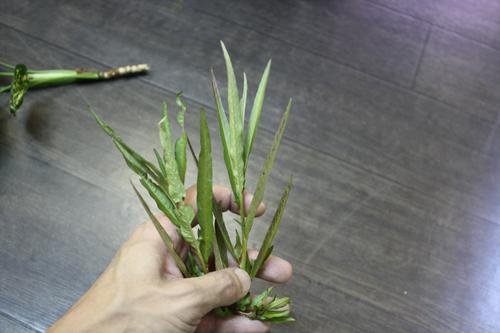 ベネズエラワイルド水草の種よりの実生株 東海 岐阜 熱帯魚 水草 観葉植物販売 Grow aquarium