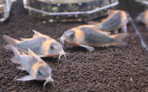 コリドラス スーパーエクエス WILD 東海 岐阜 熱帯魚 水草 観葉植物販売 Grow aquarium
