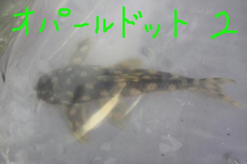 オパールドットマグナム 東海 岐阜 熱帯魚 水草 観葉植物販売 Grow aquarium