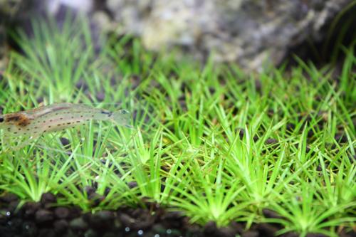 当店の60cm 前景草 東海 岐阜 熱帯魚 水草 観葉植物販売 Grow aquarium