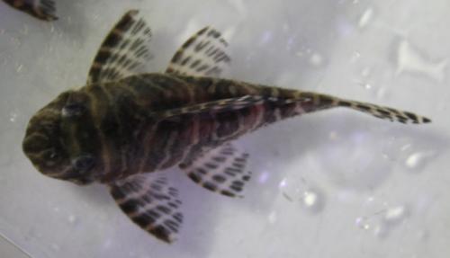 ゴールデンキングロイヤルペコルティア オス 東海 岐阜 熱帯魚 水草 観葉植物販売 Grow aquarium