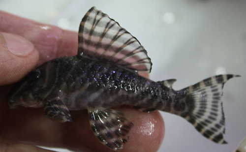 ゴールデンキングロイヤルペコルティア ペア 東海 岐阜 熱帯魚 水草 観葉植物販売 Grow aquarium