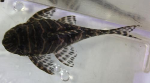 ゴールデンキングロイヤルペコルティア ♀ 東海 岐阜 熱帯魚 水草 観葉植物販売 Grow aquarium