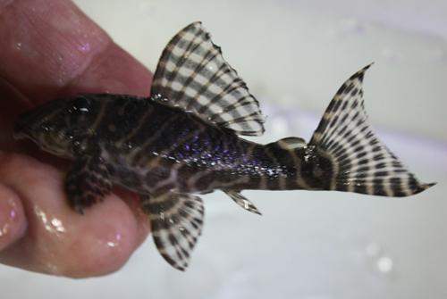 ゴールデンキングロイヤルペコルティア 雌 東海 岐阜 熱帯魚 水草 観葉植物販売 Grow aquarium