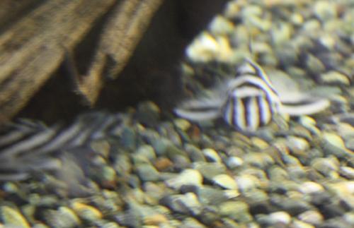 インペリアルゼブラプレコ 東海 岐阜 熱帯魚 水草 観葉植物販売 Grow aquarium
