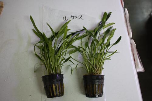 クリプトコリネ ルーケンス 東海 岐阜 熱帯魚 水草 観葉植物販売 Grow aquarium