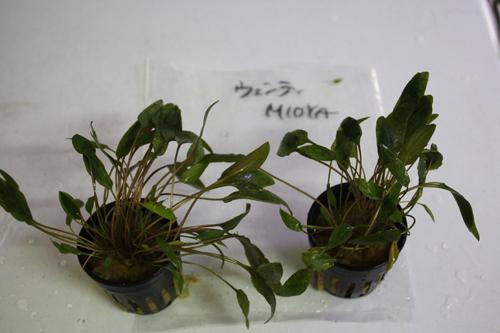 クリプトコリネ ウェンティミオヤ 東海 岐阜 熱帯魚 水草 観葉植物販売 Grow aquarium