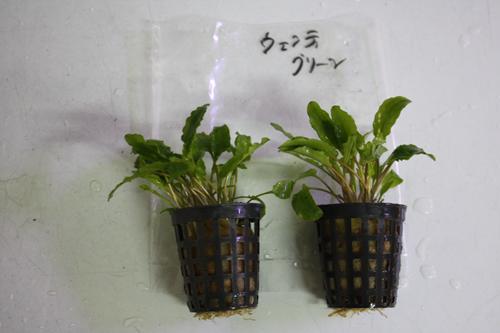 クリプトコリネ ウェンティグリーン 東海 岐阜 熱帯魚 水草 観葉植物販売 Grow aquarium