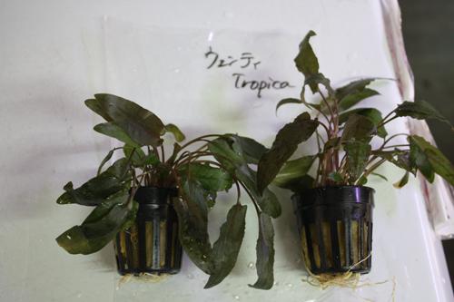クリプトコリネ ウェンティトロピカ 東海 岐阜 熱帯魚 水草 観葉植物販売 Grow aquarium