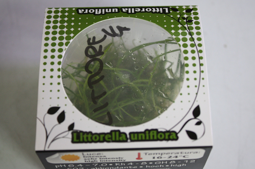 リトレラ ウニフローラ 東海 岐阜 熱帯魚 水草 観葉植物販売 Grow aquarium
