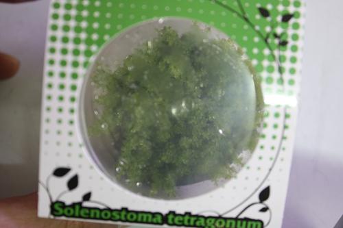 ソレノストマsp. 東海 岐阜 熱帯魚 水草 観葉植物販売 Grow aquarium
